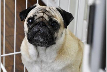 【まだ結婚できない男】2代目パグ犬の名前は田中太郎!初代ケンちゃんの現在は?